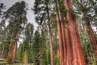 sequoia-trees-2
