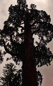 sequoia-silhouette