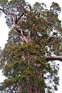 sequoia-tree