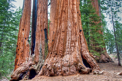 sequoia-trees-5