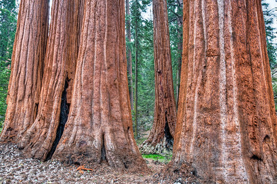 sequoia-tree-trunks