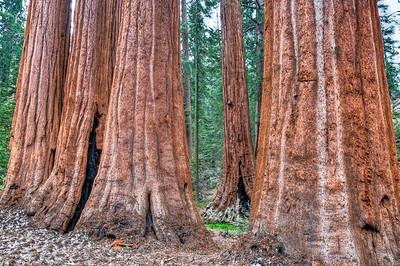sequoia-tree-trunks