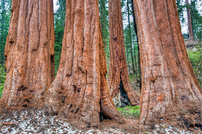 sequoia-tree-trunks-2
