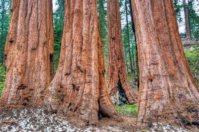 sequoia-tree-trunks-2
