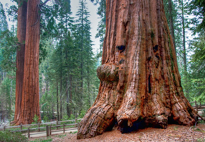 sequoia-tree-trunk-2