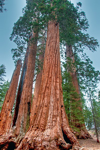 sequoia-trees-6