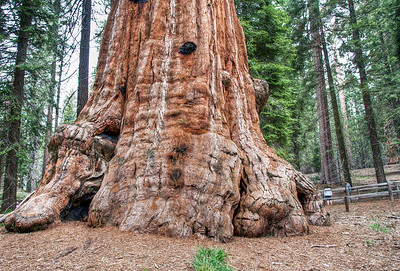 sequoia-tree-trunk