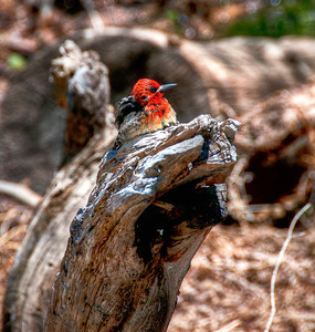red-head-bird