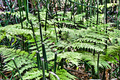 mountain-ferns