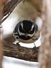 Black-throated Gray Warber male, Mesa Verde (2)