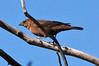 Cowbird Female Soda Canyon (1)