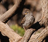 Chipping Sparrow baby