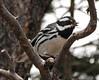Black-throated Gray Warber male, Mesa Verde (1)