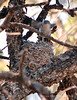 Blue-Gray Gnatcatcher nest in old juniper (6)