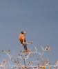 American Robin male (1)