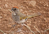 Green-tailed Towhee at VC (1)