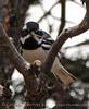 Black-throated Gray Warber male, Mesa Verde (4)