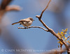 BlueGray Gnatcatcher male
