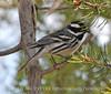 Black-throated Gray Warber male, Mesa Verde (3)