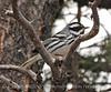 Black-throated Gray Warber male, Mesa Verde (5)