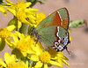 Juniper Hairstreak on flower (1)