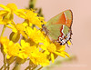 Juniper Hairstreak (11)