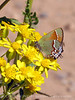 Juniper Hairstreak on flower (2)