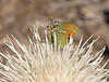 Juniper Hairstreak on white thistle (1)
