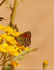 Juniper Hairstreak (7)