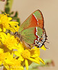 Juniper Hairstreak (9)