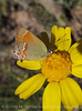 Juniper Hairstreak on yellow blossom (2)