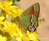Juniper Hairstreak on flower (3)