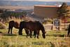 Feral horses Far View (11)