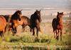 Feral horses Far View (4)