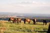 Feral horses Far View (9)