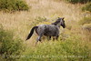 Dappled Gray Mare, Wetherill (15)