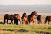 Feral horses Far View (2)
