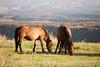 Feral horses Far View (10)