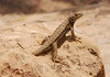 Great Basin Sagebrush Lizard, Mesa Verde (1)