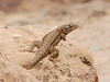 Great Basin Sagebrush Lizard, Mesa Verde (3)