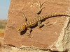 Desert Spiny Lizard, Monument Valley AZ (4)