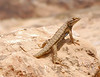 Great Basin Sagebrush Lizard, Mesa Verde (2)