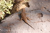 Great Basin Sagebrush Lizard, Mesa Verde (9)