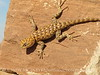 Desert Spiny Lizard, Monument Valley AZ (5)
