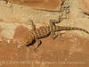 Desert Spiny Lizard, Monument Valley AZ (3)