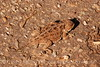 Mountain short-horned lizard, Mesa Verde NP (5)
