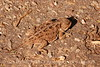 Mountain short-horned lizard, Mesa Verde NP (4)