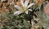 Easter Daisy, Mesa Verde NP