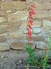 Firecracker Penstemon at Sun Temple (2)