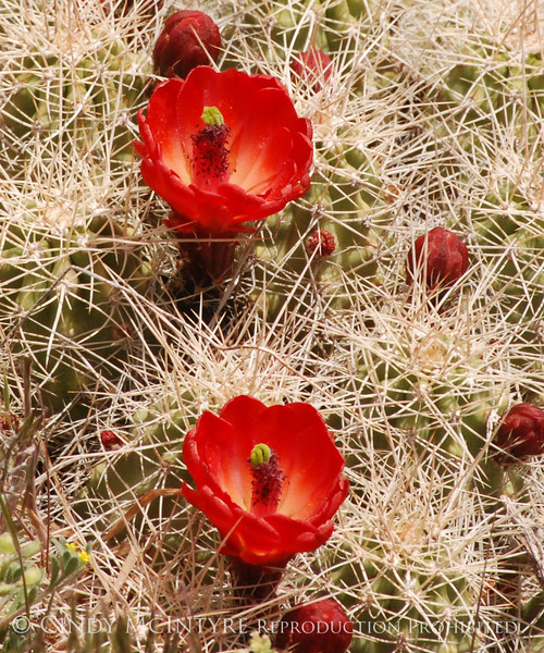 Claret Cup Cactus Mesa Verde (1)